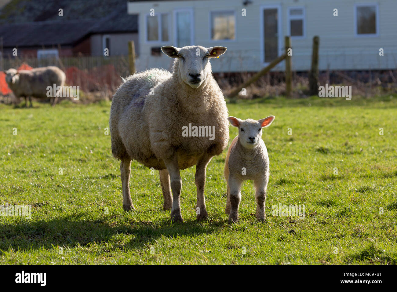 Female sheep / ewe with its lamb on small holding, staring - Stock Image