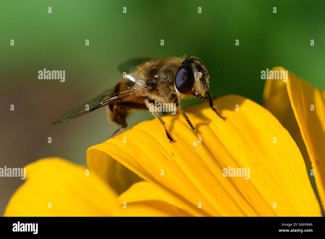 Macro shot of a bee on the petal of a yellow flower - Stock Image
