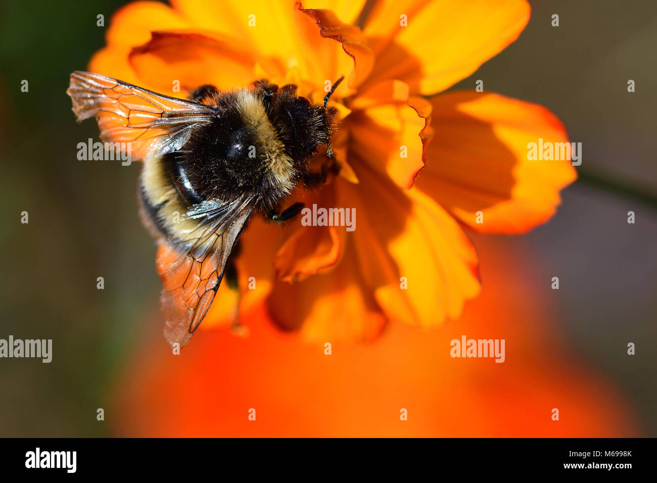 Macro shot of a bumble bee pollinating an orange coreopsis flower - Stock Image