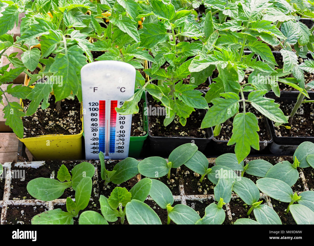 Thermometer registering temperature in the greenhouse. - Stock Image