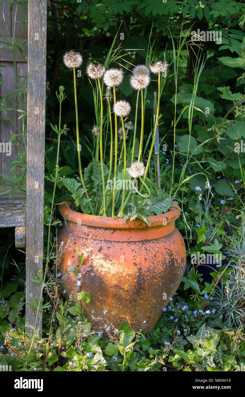 A neglected planter with self-seeded weeds in a hidden corner of large garden in UK - Stock Image