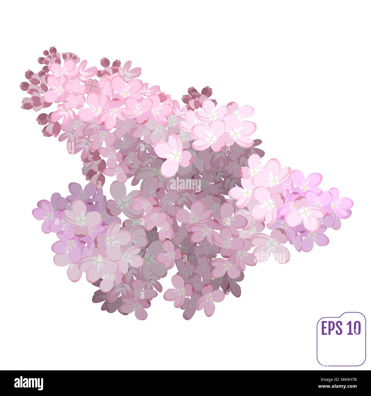 Spring flower, twig pink lilac. Syringa vulgaris. Buds and lush inflorescences of lilacs. Vector - Stock Vector
