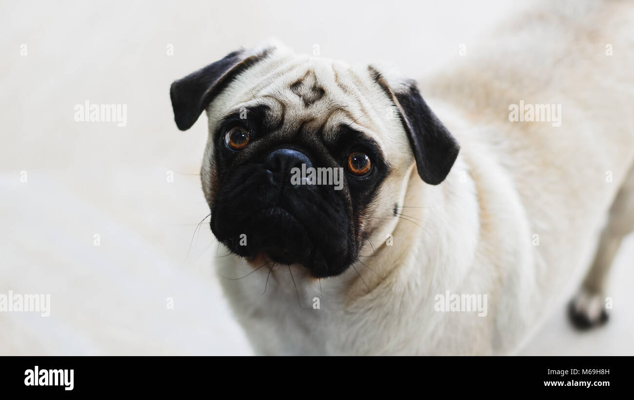 Isolated pug looking forward with the head tilted to the side. Expressive dog, pity face. - Stock Image