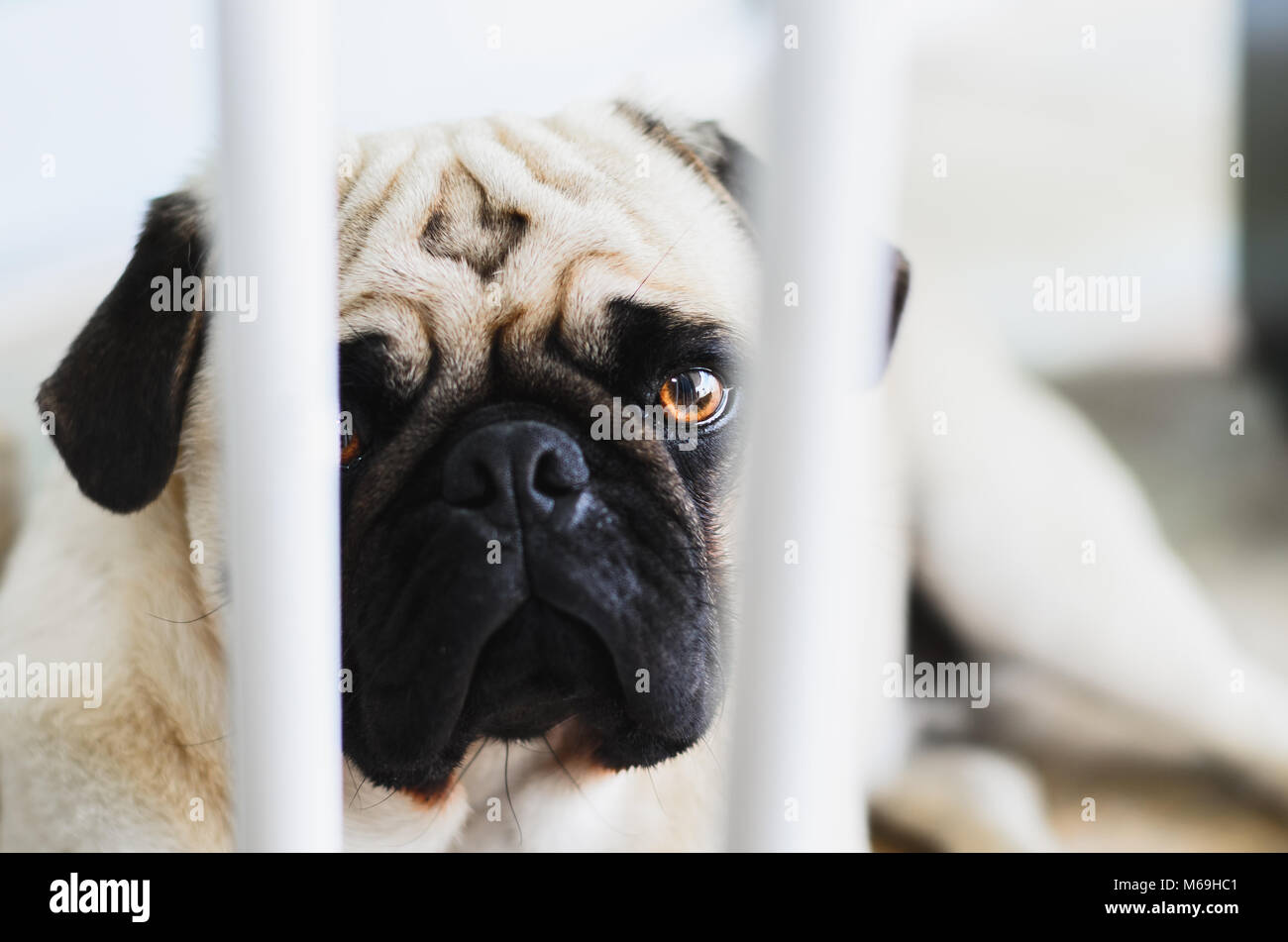 Guilty dog, Pug dog behind the bars of a protective bar for dogs. Dog with pity face, sad. - Stock Image