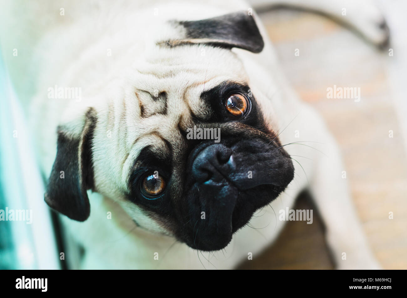 Pug looking up with the head tilted to the side. Expressive dog, pity face. - Stock Image