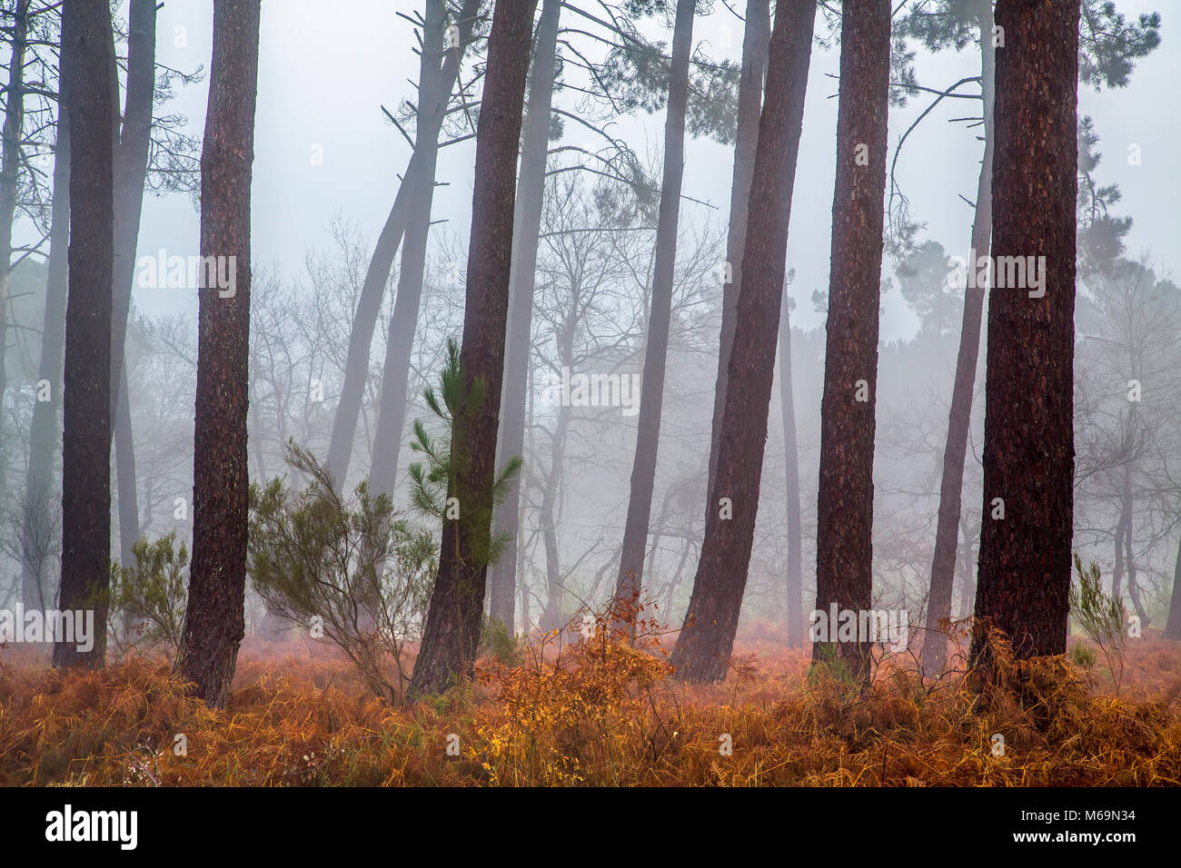 Pine wood forest. Le Gers Department, New Aquitaine, Midi Pyerenees. France Europe Stock Photo