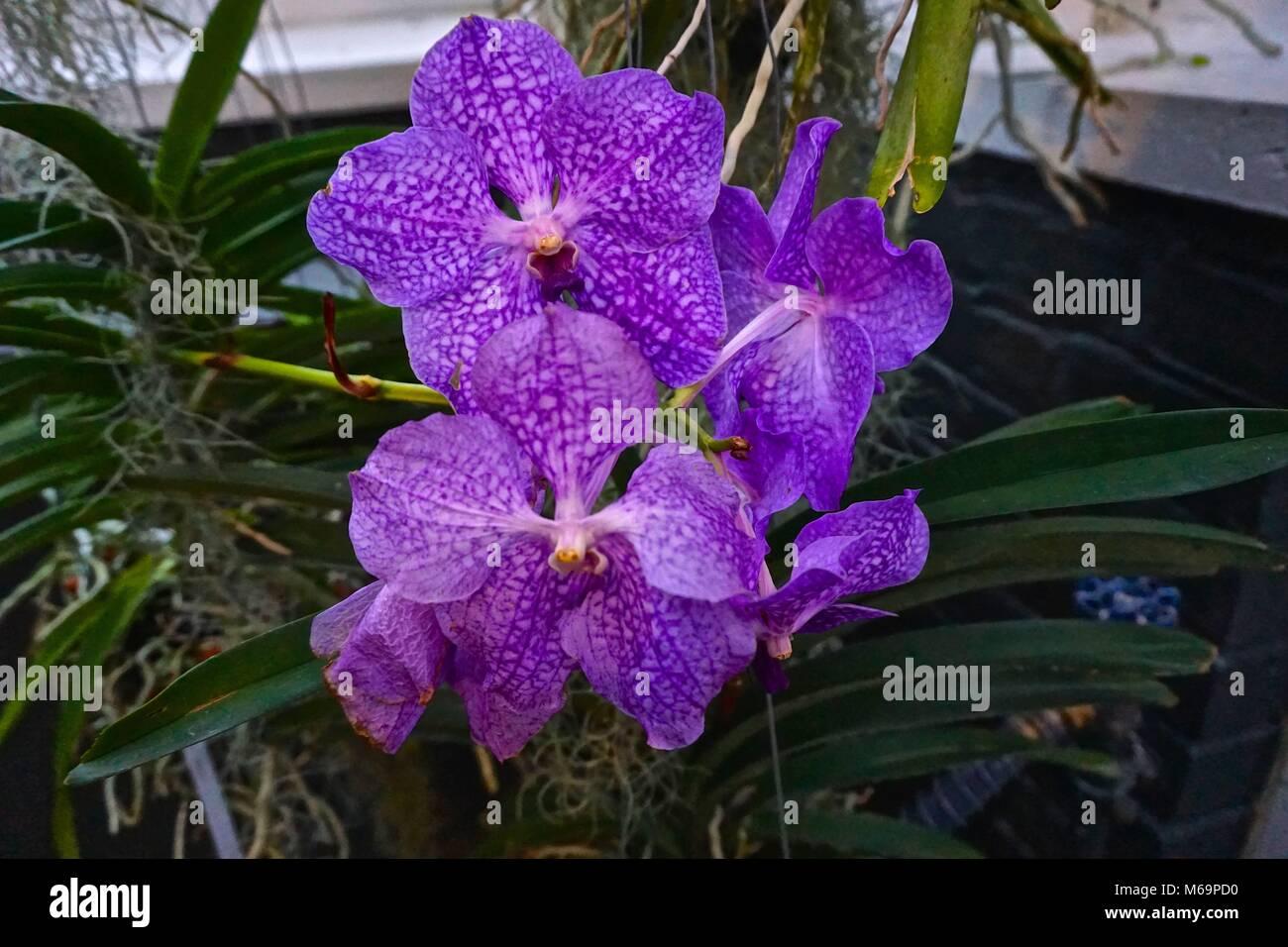 Vanda Orchid Vanda Coesrulea Deep Blue To Purple Orchids