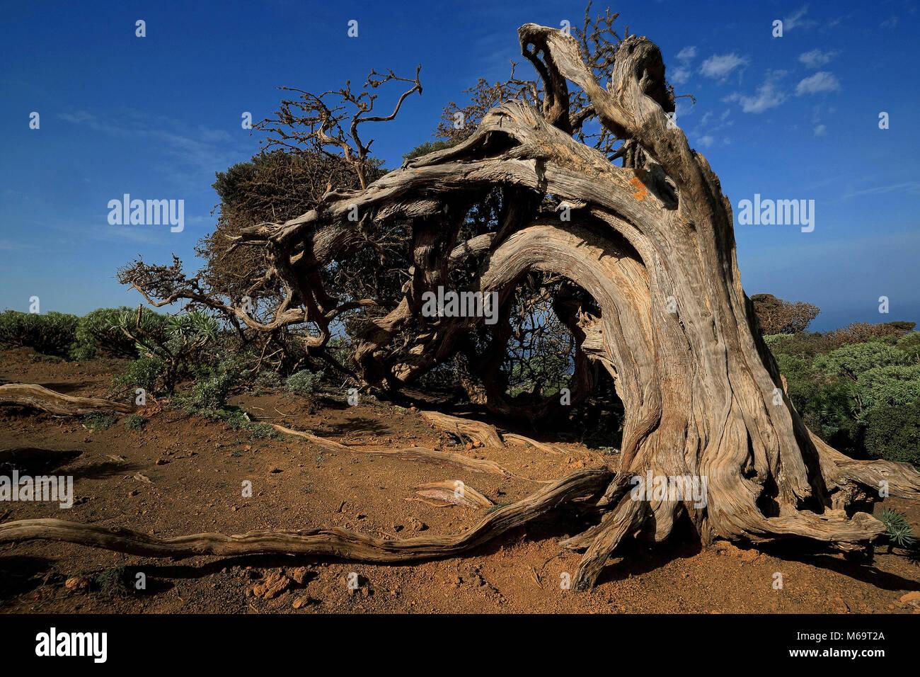 Canary Islands, El Hierro, Wacholderbaum, Stock Photo
