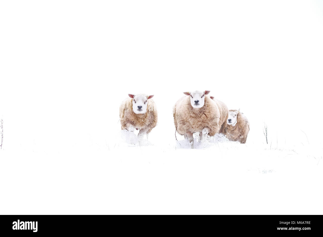 Titley, Herefordshire, UK - Friday 2nd March 2018 - A small group of rams move through deep snow among the hillsides - Stock Image