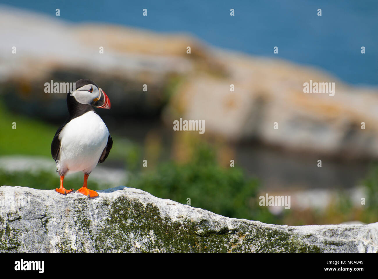 Atlantic puffin stands guard on rocky island on the northern coast of Maine. Atlantic puffins are an endangered - Stock Image