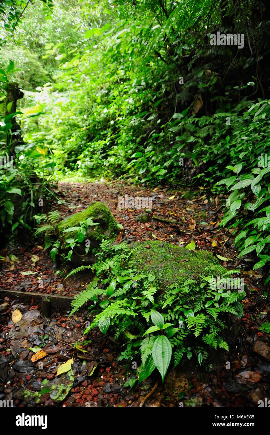 Trailside ferns in Bosque Caricias, a private ecological reserve, located in Concepción de San Isidro de Heredia. - Stock Image