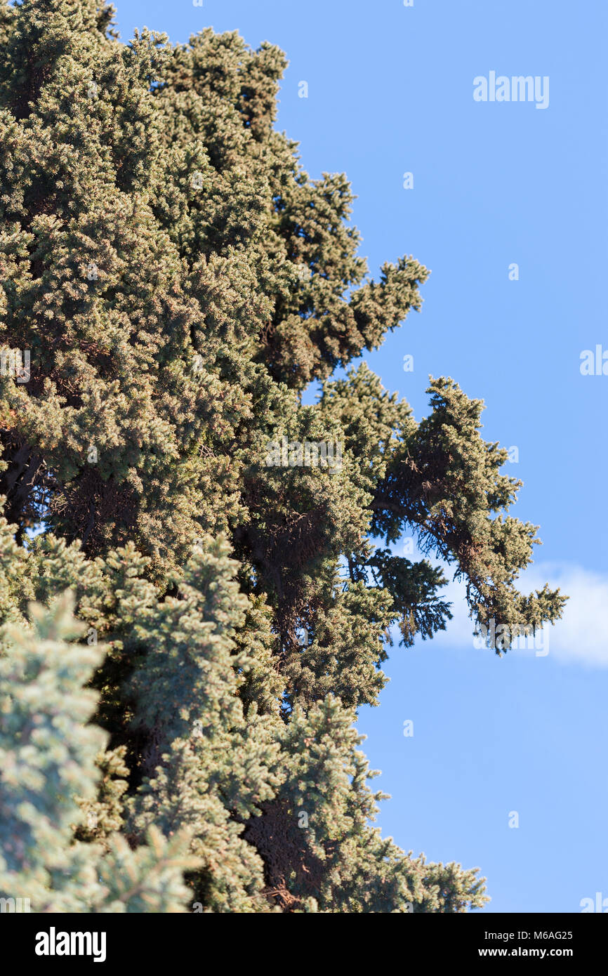Veitch's silver fir, Fujigran (Abies veitchii) - Stock Image