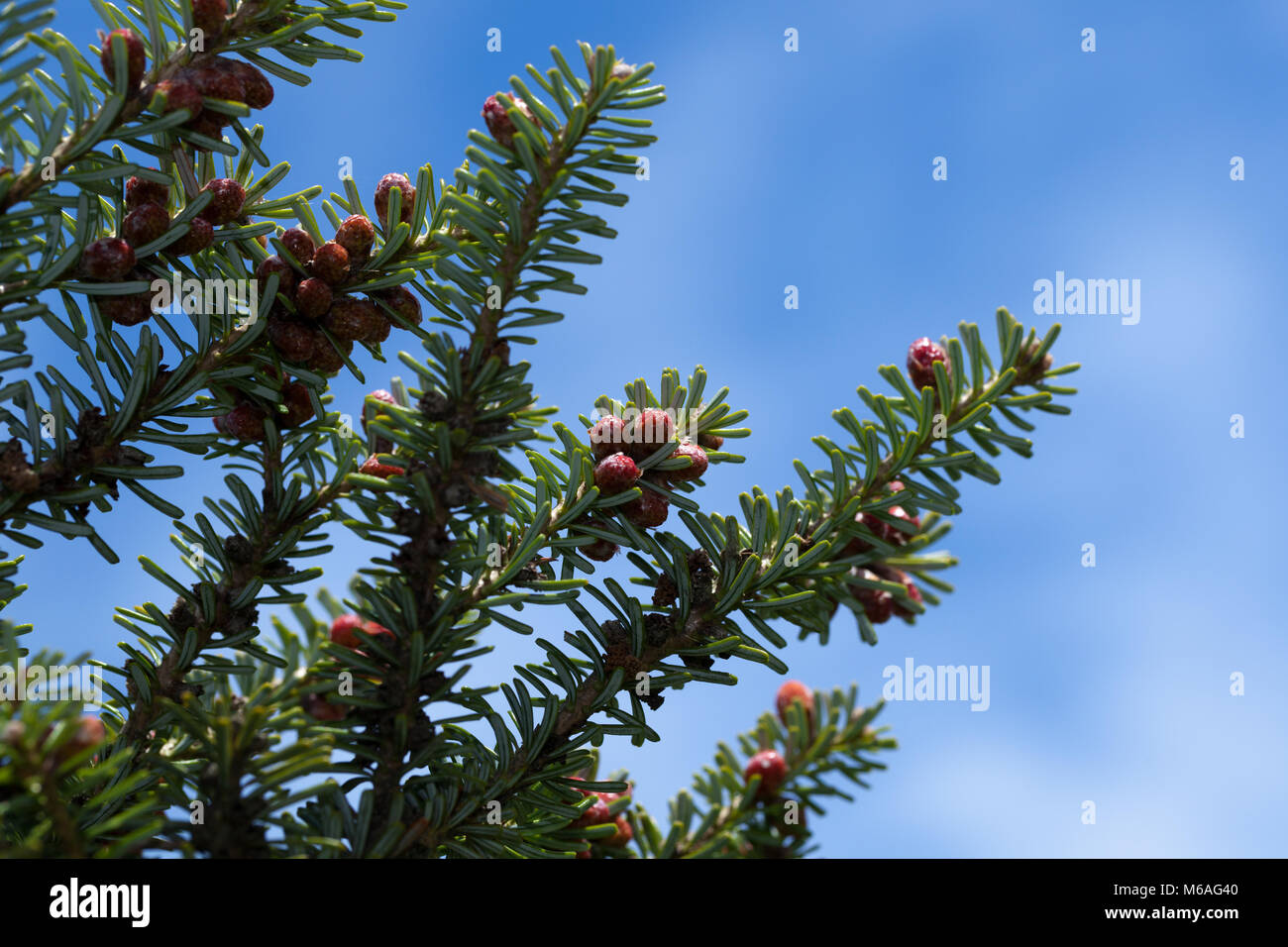 Korean Fir, Koreagran (Abies koreana) - Stock Image