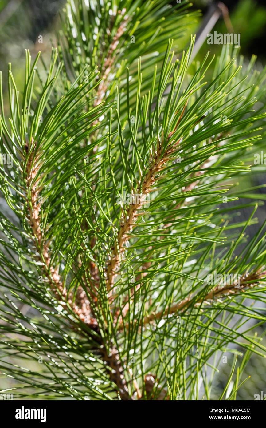 Manchurian red pine, Kinesisk tall (Pinus tabuliformis) - Stock Image