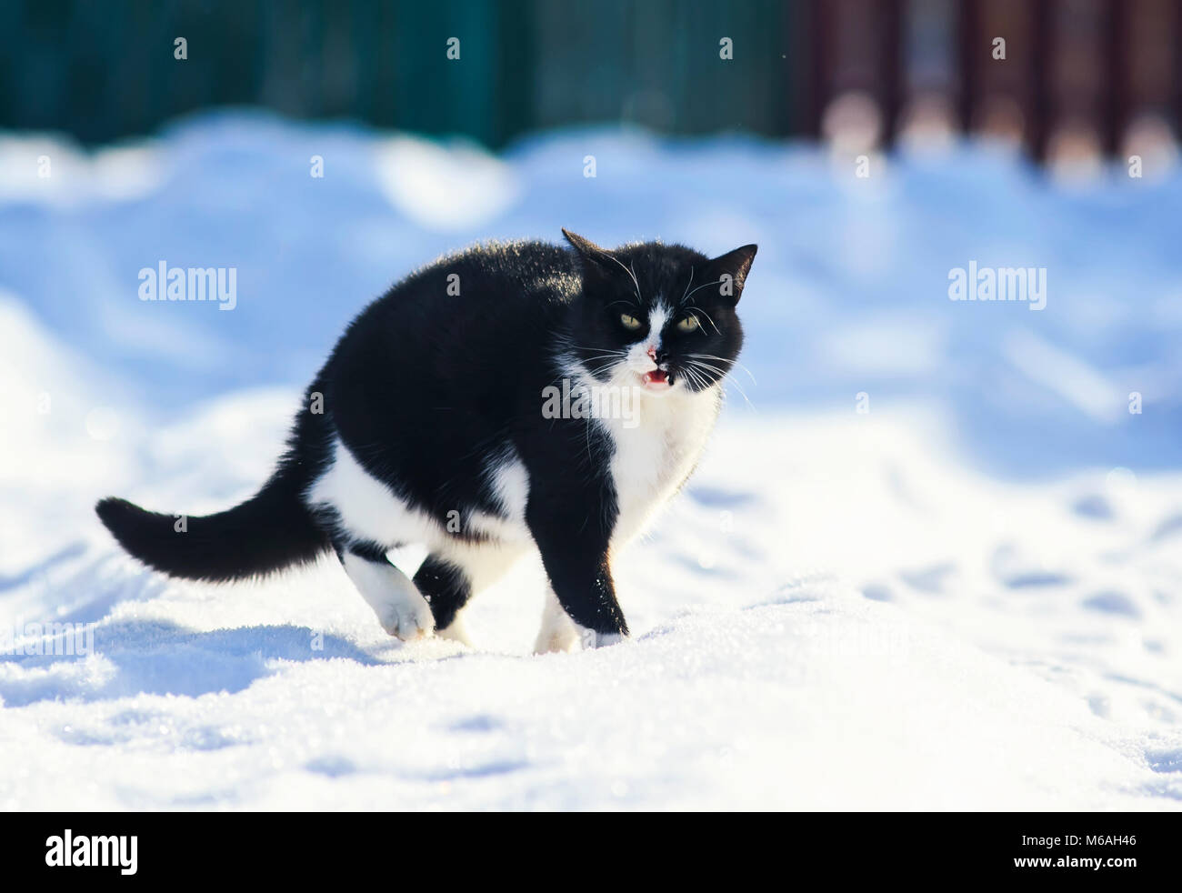 cat walks on white fluffy snow in winter yard and meows loudly - Stock Image