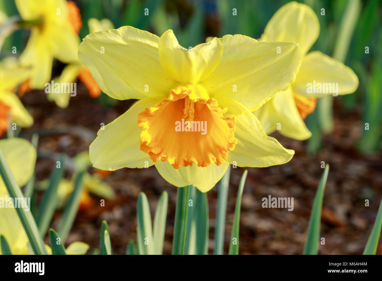 Daffodil (Narcissus sp.) in bloom. - Stock Image