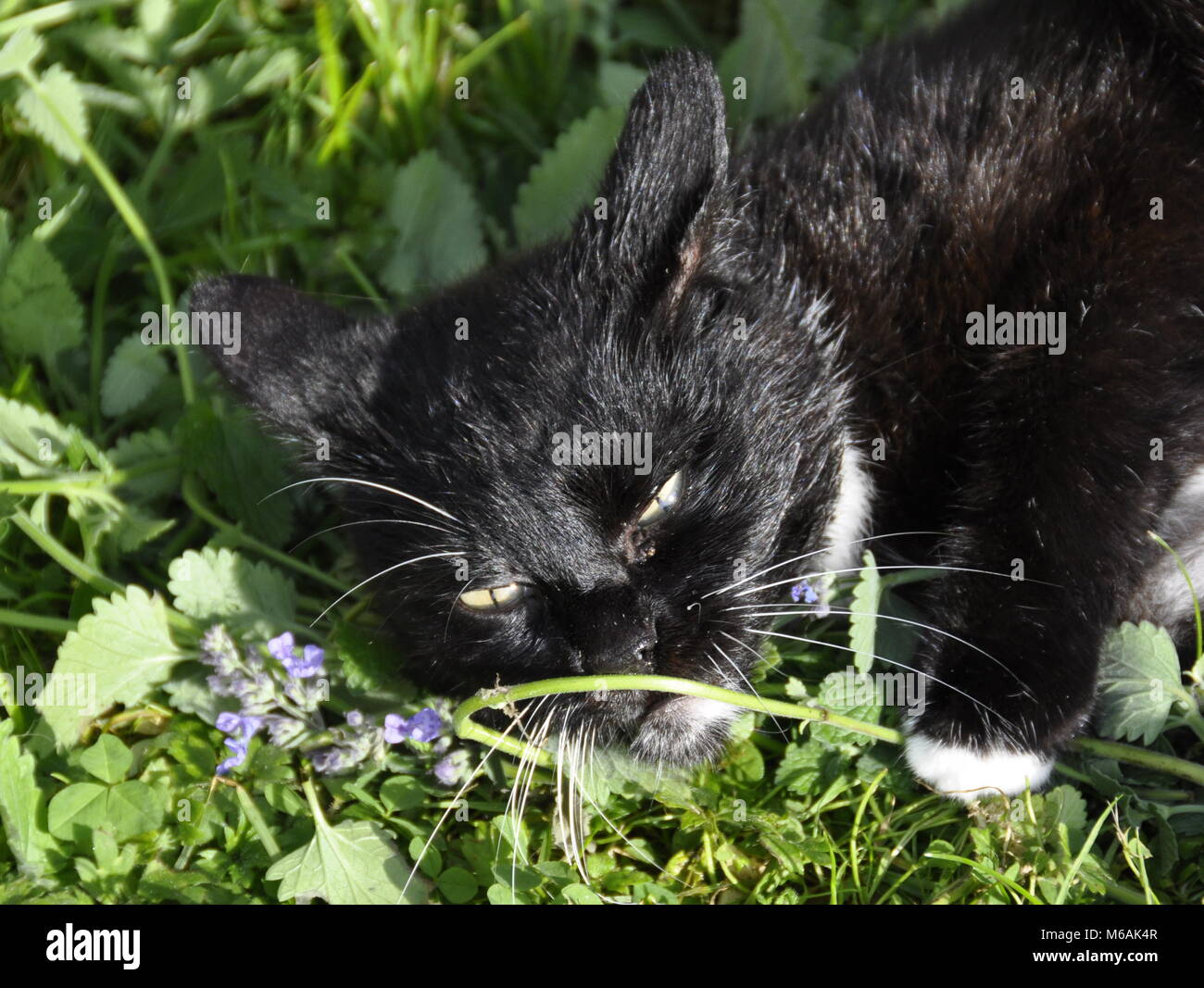 Cat euphorically from smelling catnip - Stock Image