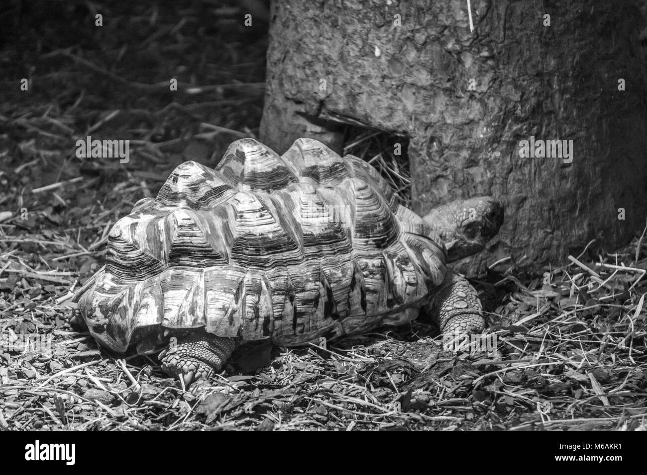 African spurred tortoise in black and white - Stock Image