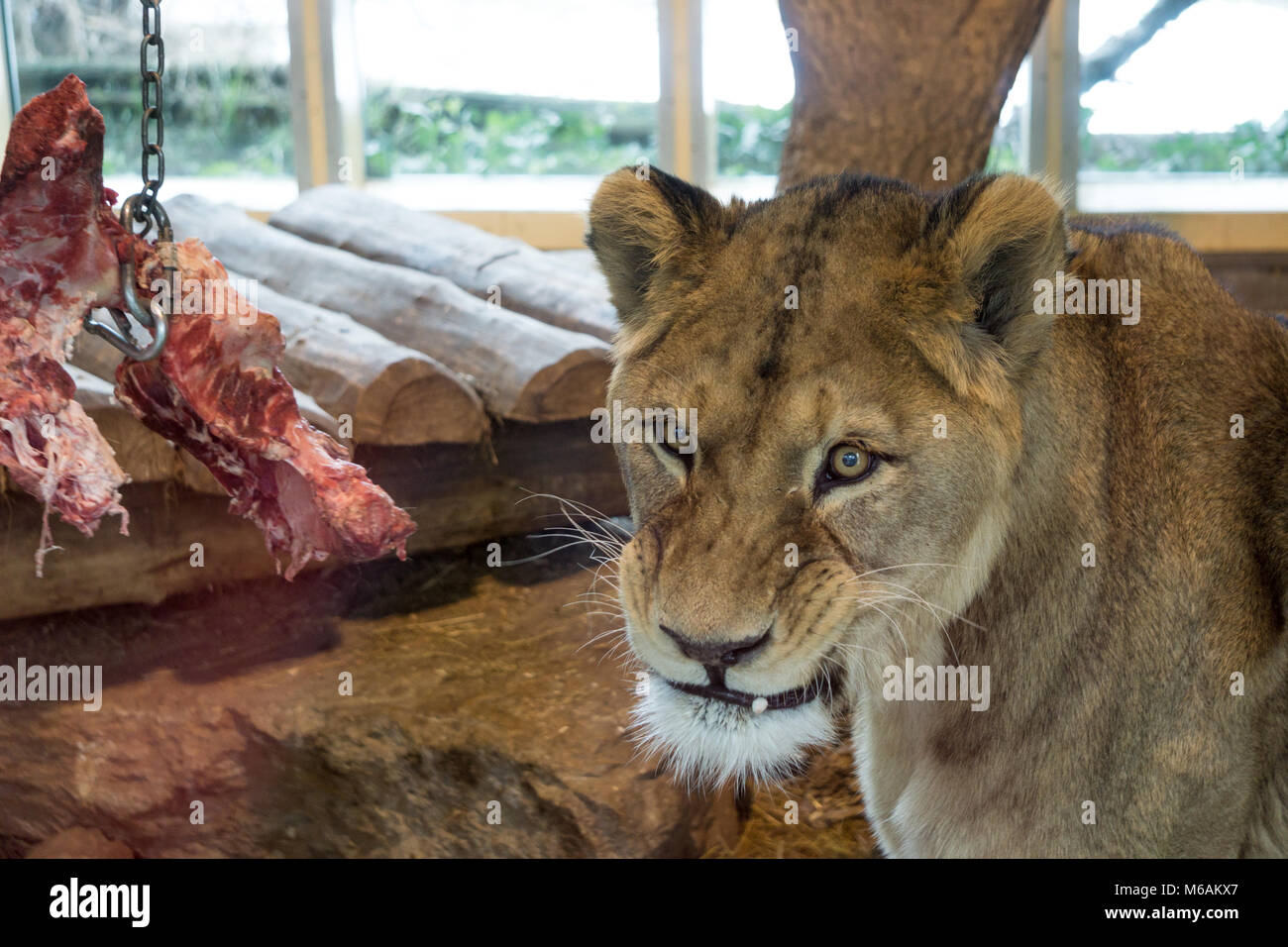 Lioness growls at onlookers gathered to watch her feed at the zoo - Stock Image