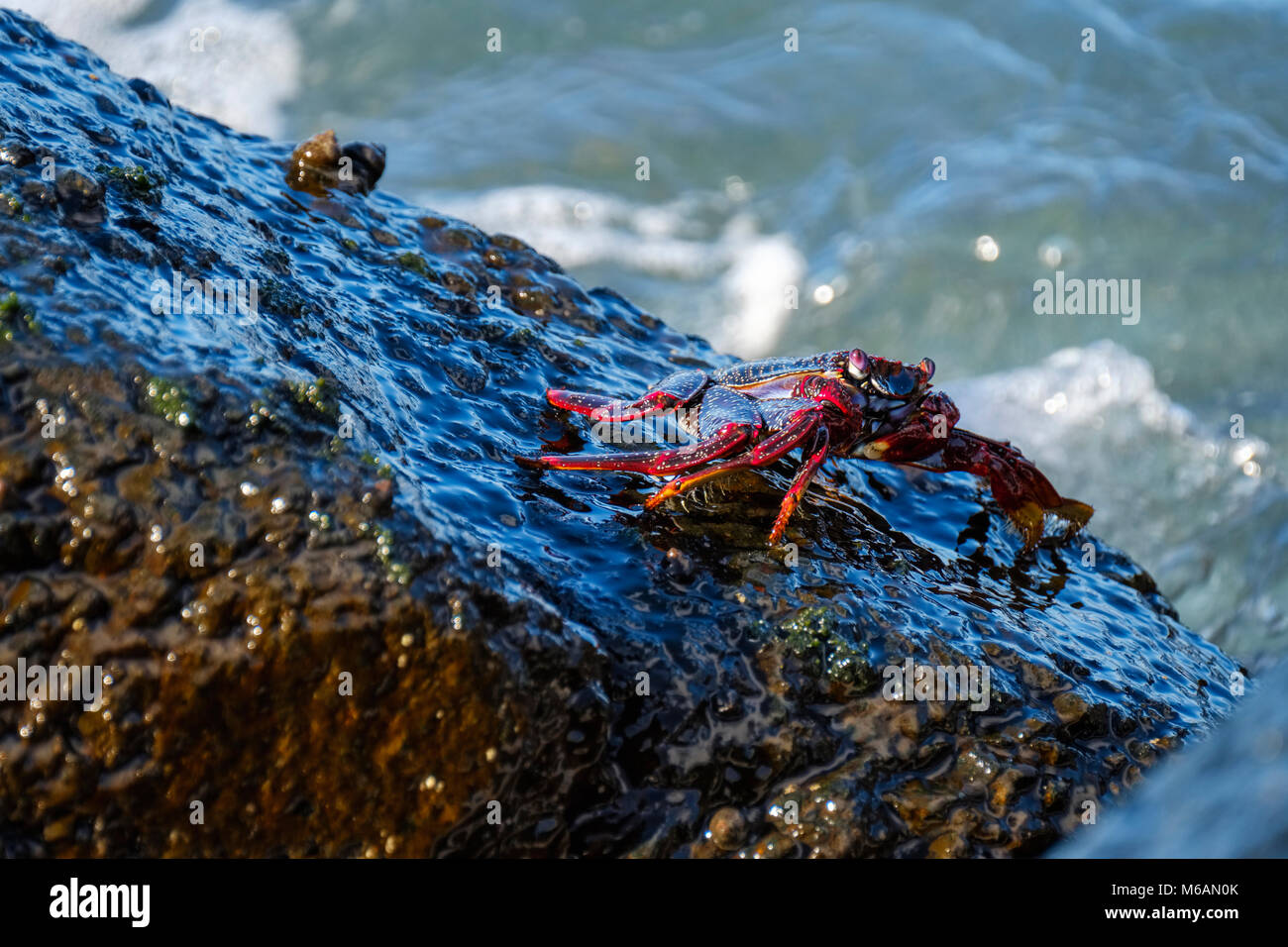 Red rock crab (Grapsus adscensionis) on wet rock, La Gomera, Canary Islands, Spain Stock Photo