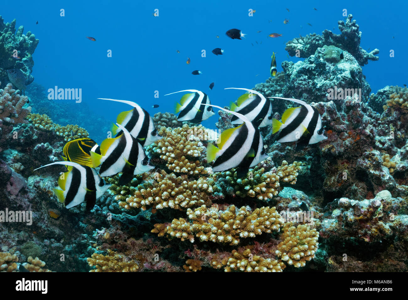 Swarm Pennant coralfishes (Heniochus acuminatus), swims over coral reef, Pacific Ocean, French Polynesia - Stock Image