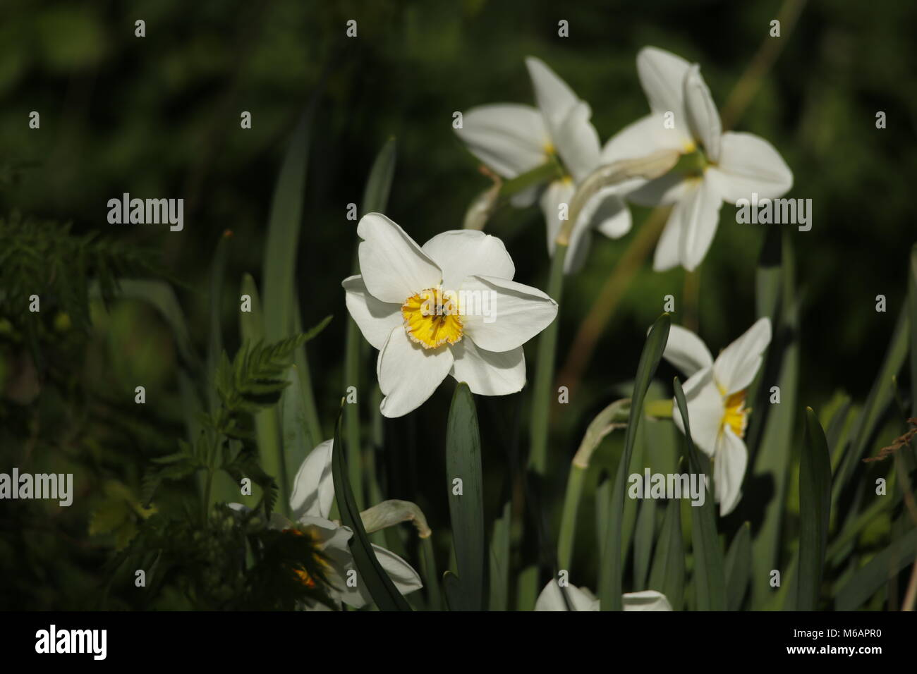 Daffodils growing in the spring - Stock Image