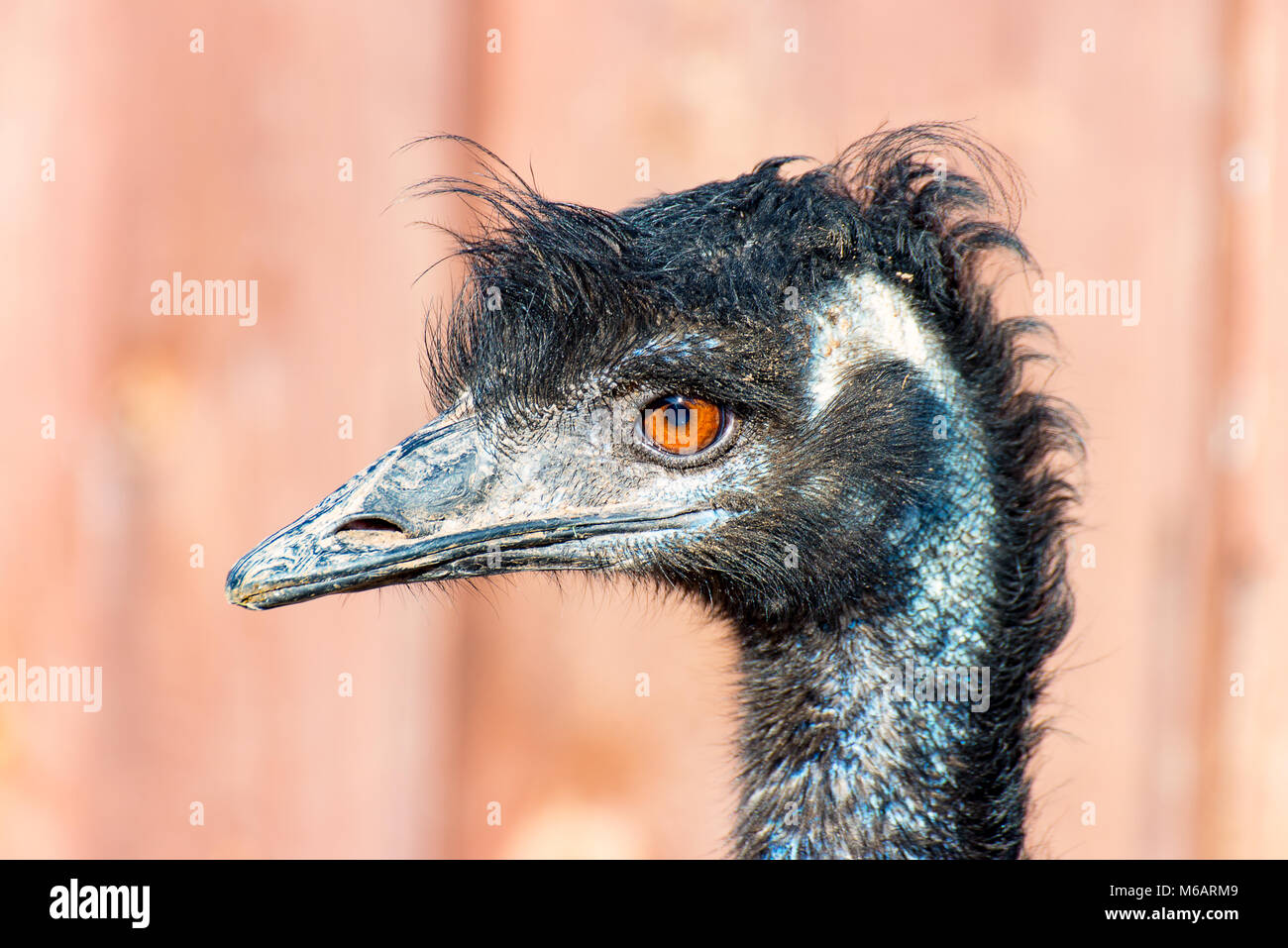 The head of a Emu Bird look forward 2 - Stock Image