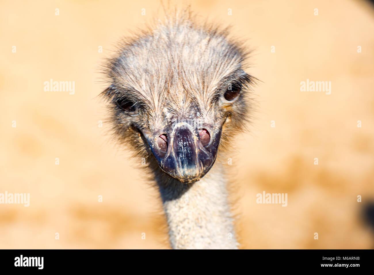 The head of a Emu Bird look forward - Stock Image