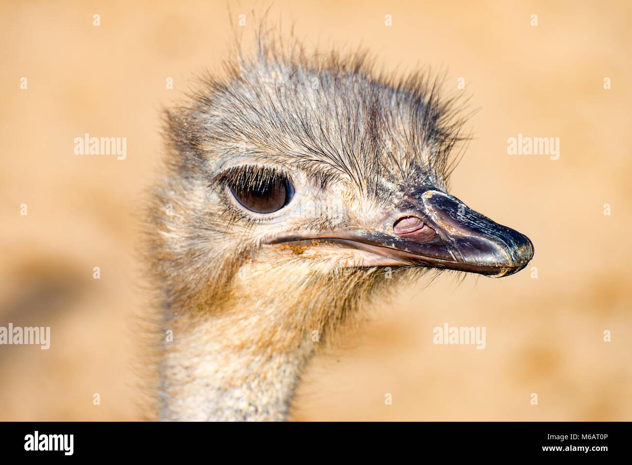 The head of a Emu Bird look forward 1 - Stock Image