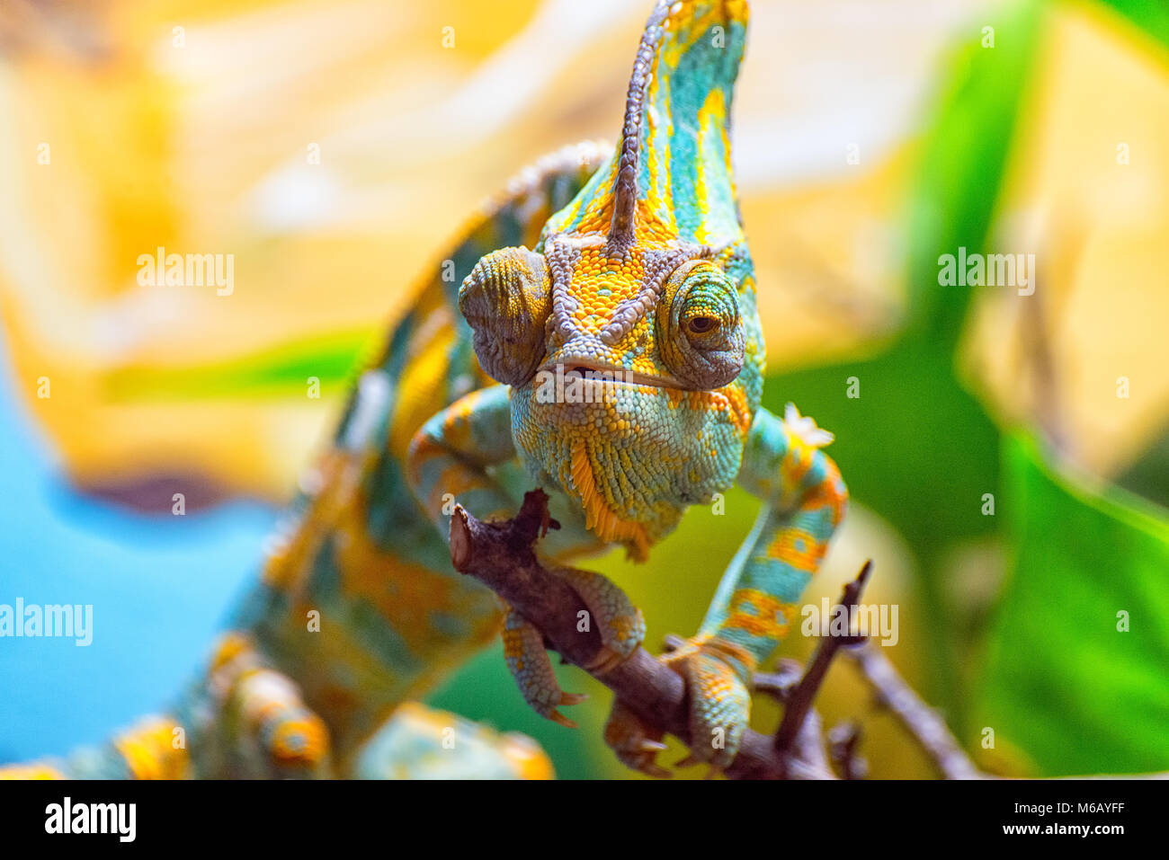 The colorful Chameleon - Stock Image