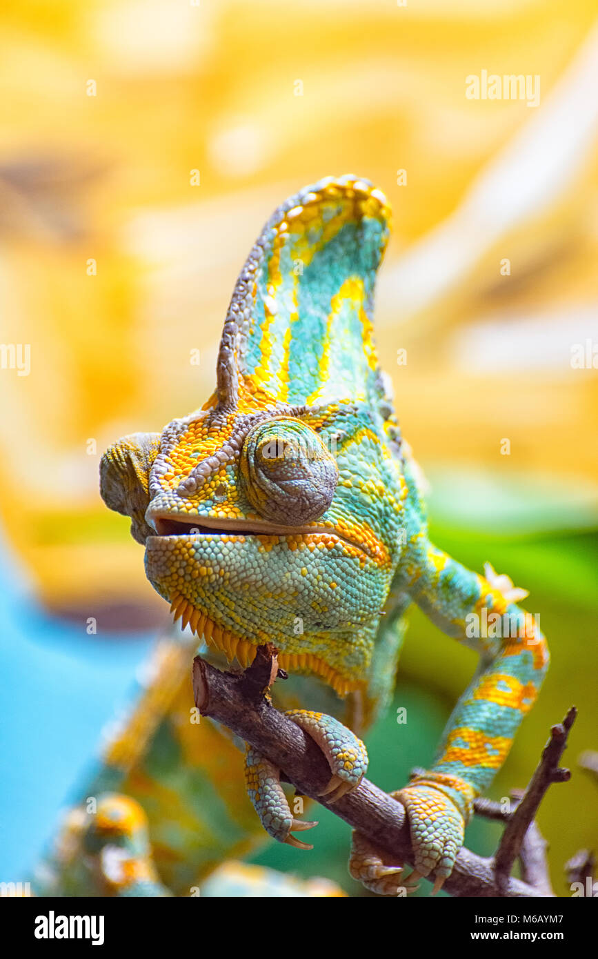 The colorful Chameleon II - Stock Image