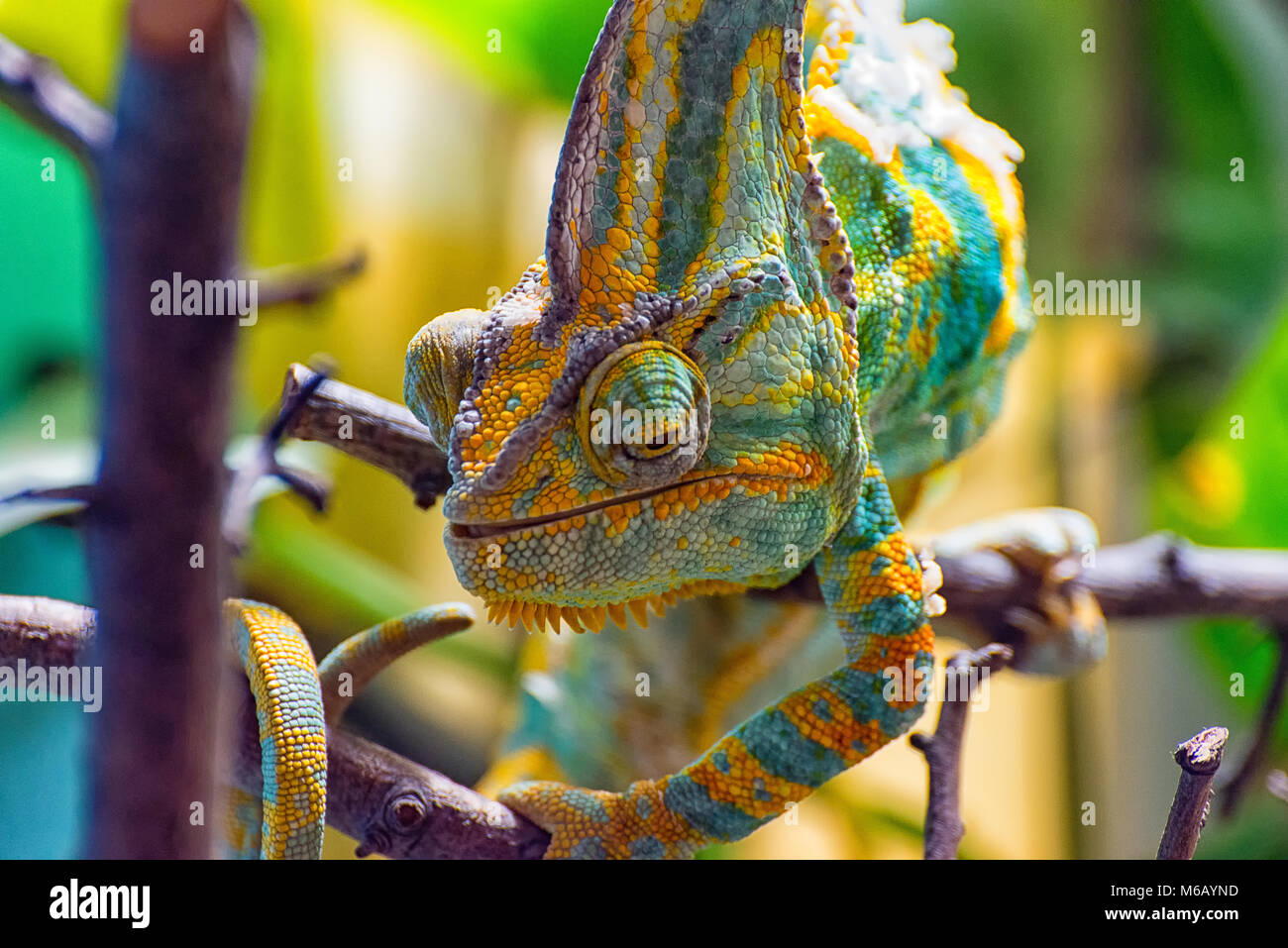 The colorful Chameleon III - Stock Image