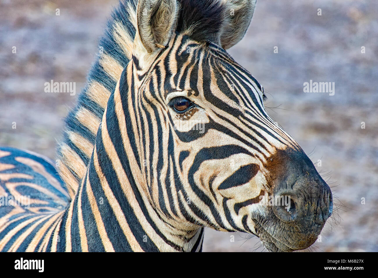 Head of a zebra - Stock Image