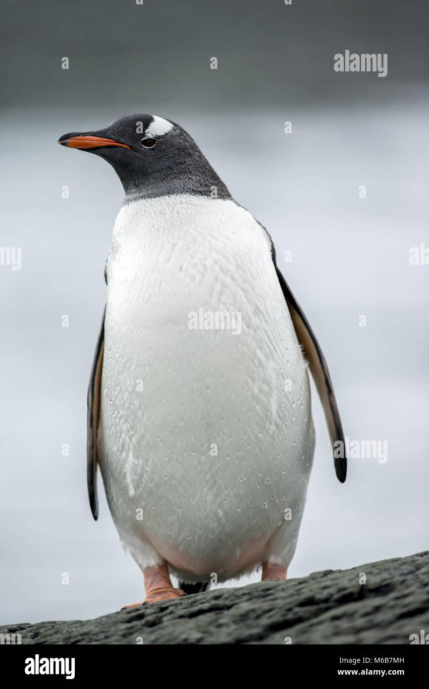 Gentoo Penguin (Pygoscelis papua) in Antarctica - Stock Image