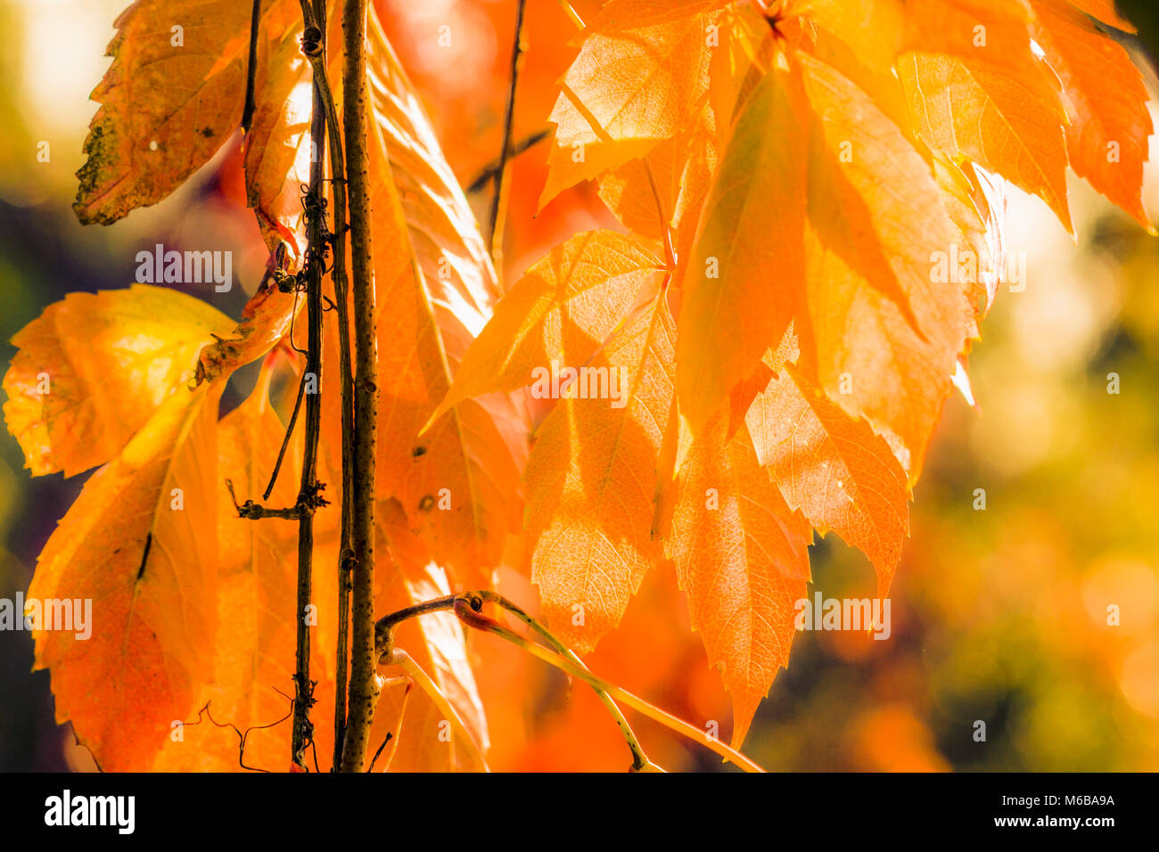 Sunny background with golden autumn leaves in Novembe - Stock Image