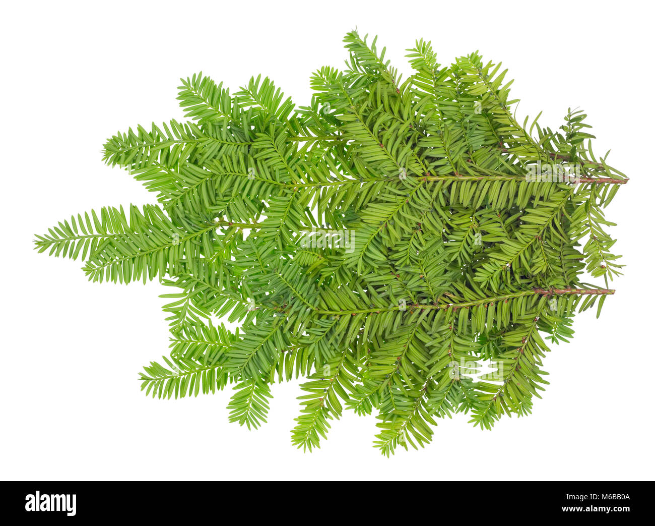 Branche of an evergreen coniferous  Yew  xmas tree. Isolated on white studio shot - Stock Image