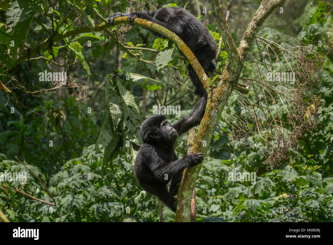 Young Mountain gorilla (Gorilla beringei beringei) is one of the two subspecies of the eastern gorilla. Playing. - Stock Image