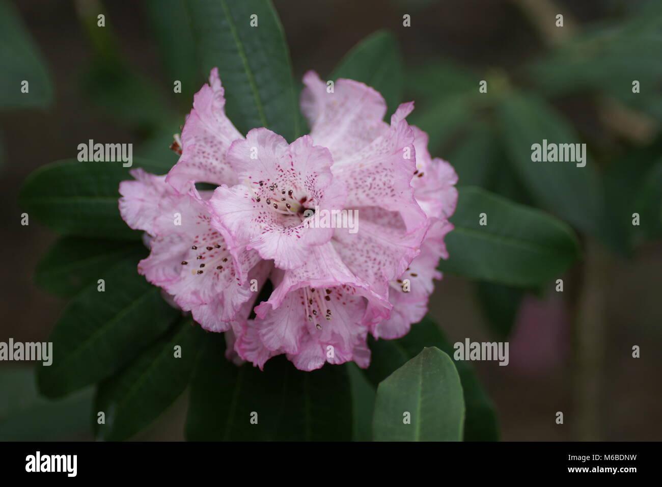 Rhododendron arboreum hybrid - Stock Image