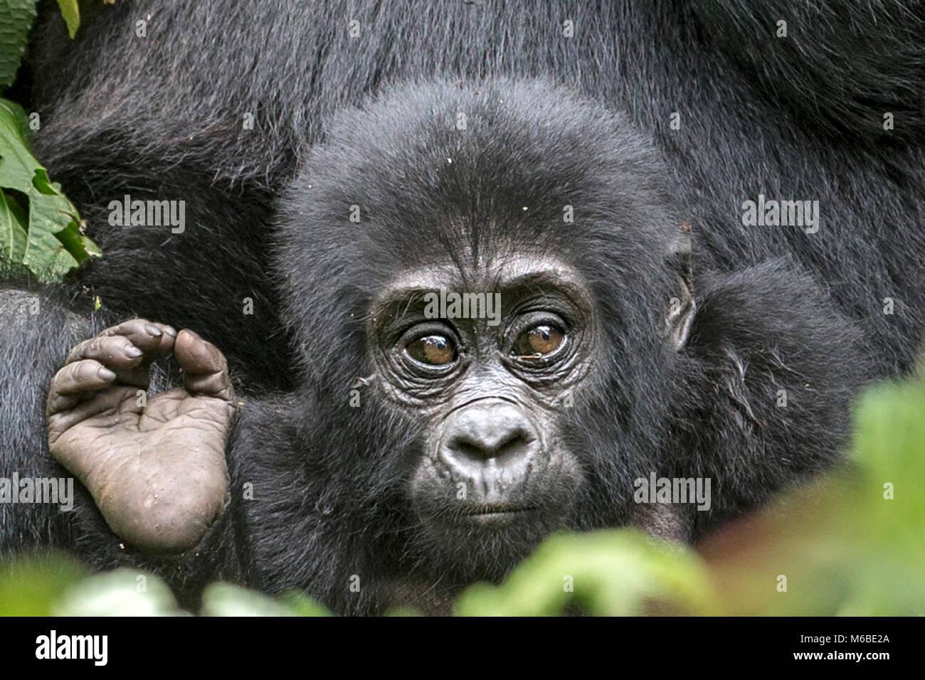 Infant Mountain gorilla (Gorilla beringei beringei) is one of the two subspecies of the eastern gorilla. Bwindi Stock Photo