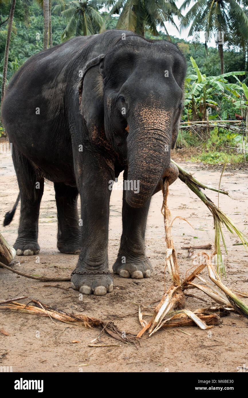 Wild Elephant In Thailand Symbol Stock Photos Wild Elephant In