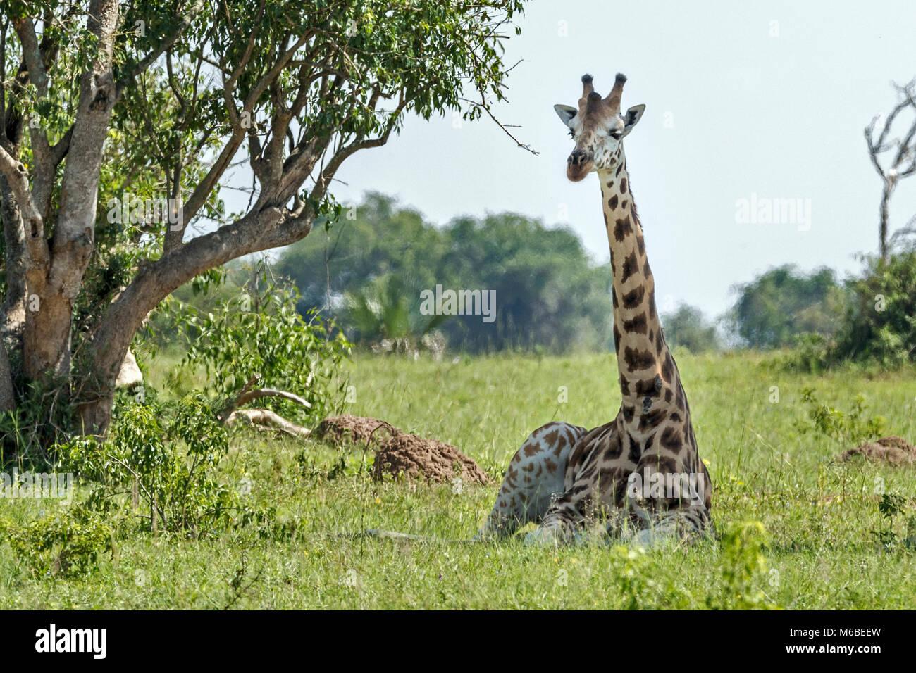 Rothschild's giraffe resting, 'Murchison's Falls National Park', Uganda, Africa - Stock Image