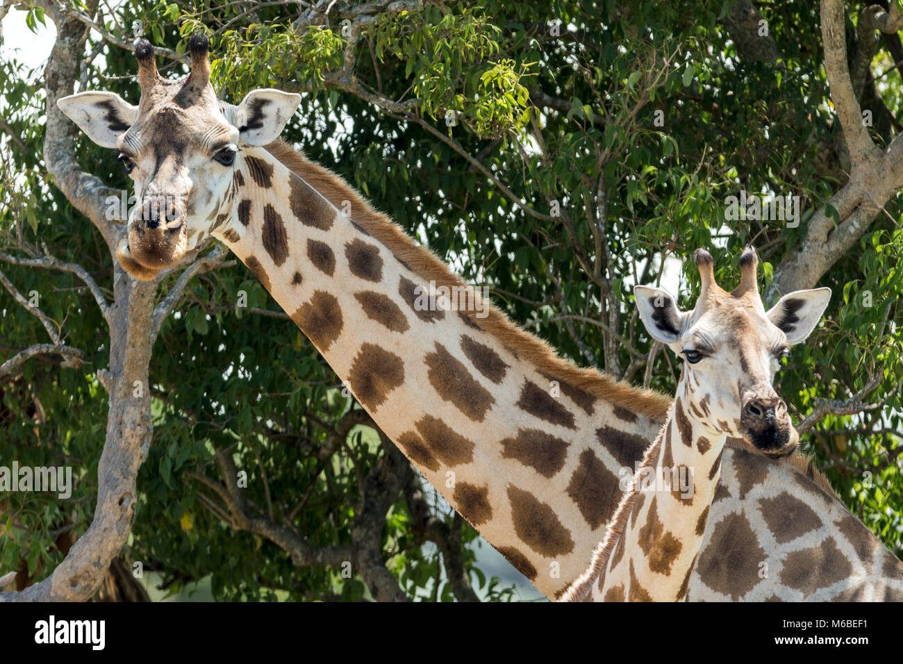 Mother and young Rothschild's giraffe 'Murchison's Falls National Park', Uganda, Africa - Stock Image