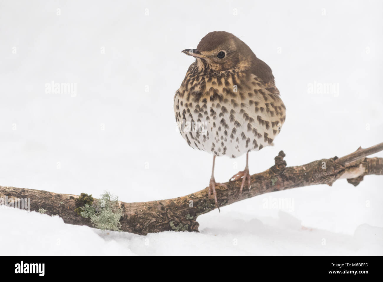 Song Thrush (Turdus philomelos) in winter - Stock Image