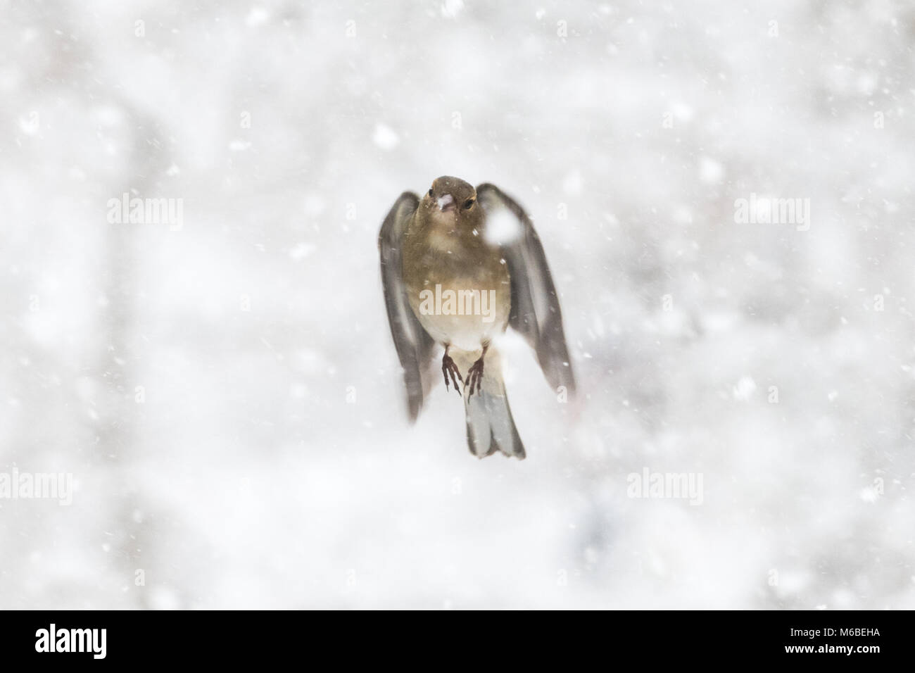 female chaffinch flying through snow - Stock Image