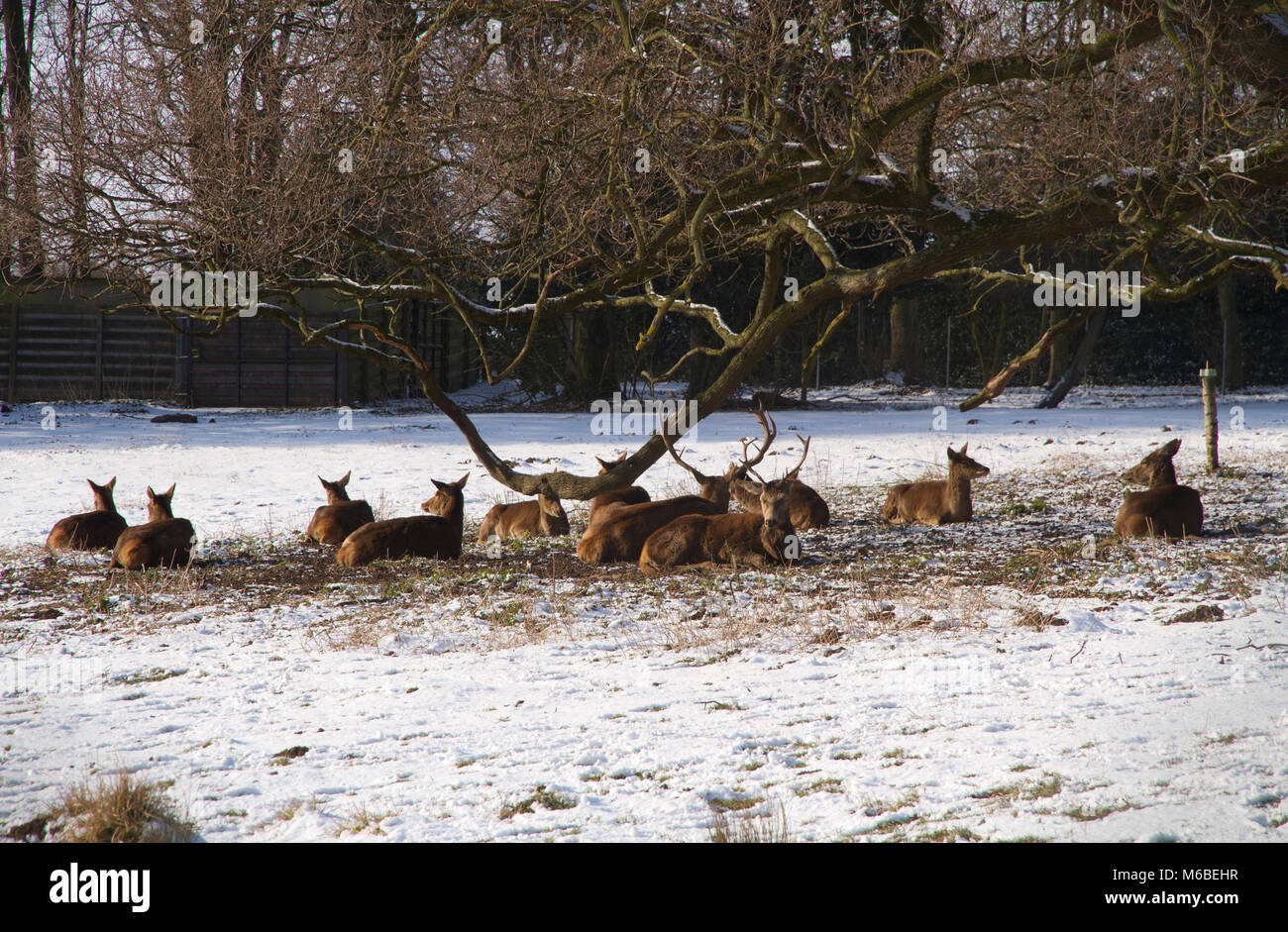 Herd of Red Deer sheltering from the snow in Bedfords Park in the London Borough of Havering in Essex. - Stock Image