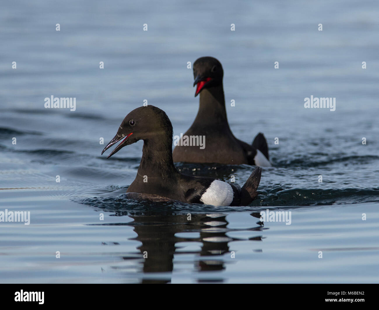 Pair of Black Guillemots (Cepphus grille) in summer plumage on the west coast of Scotland displaying to each other. Stock Photo