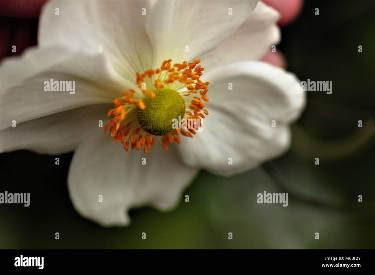 Microseeds white sharp green detailed flower with creativity and hopefulness, blurry background with bold powerful - Stock Image