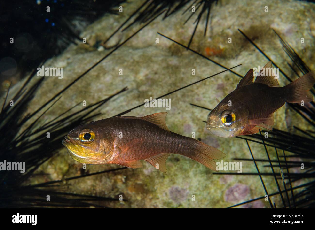 Goldbelly Cardinal Fish, Ostorhinchus apogonidesis,  Apogonidae,  Anilao, Philippines, Asia - Stock Image