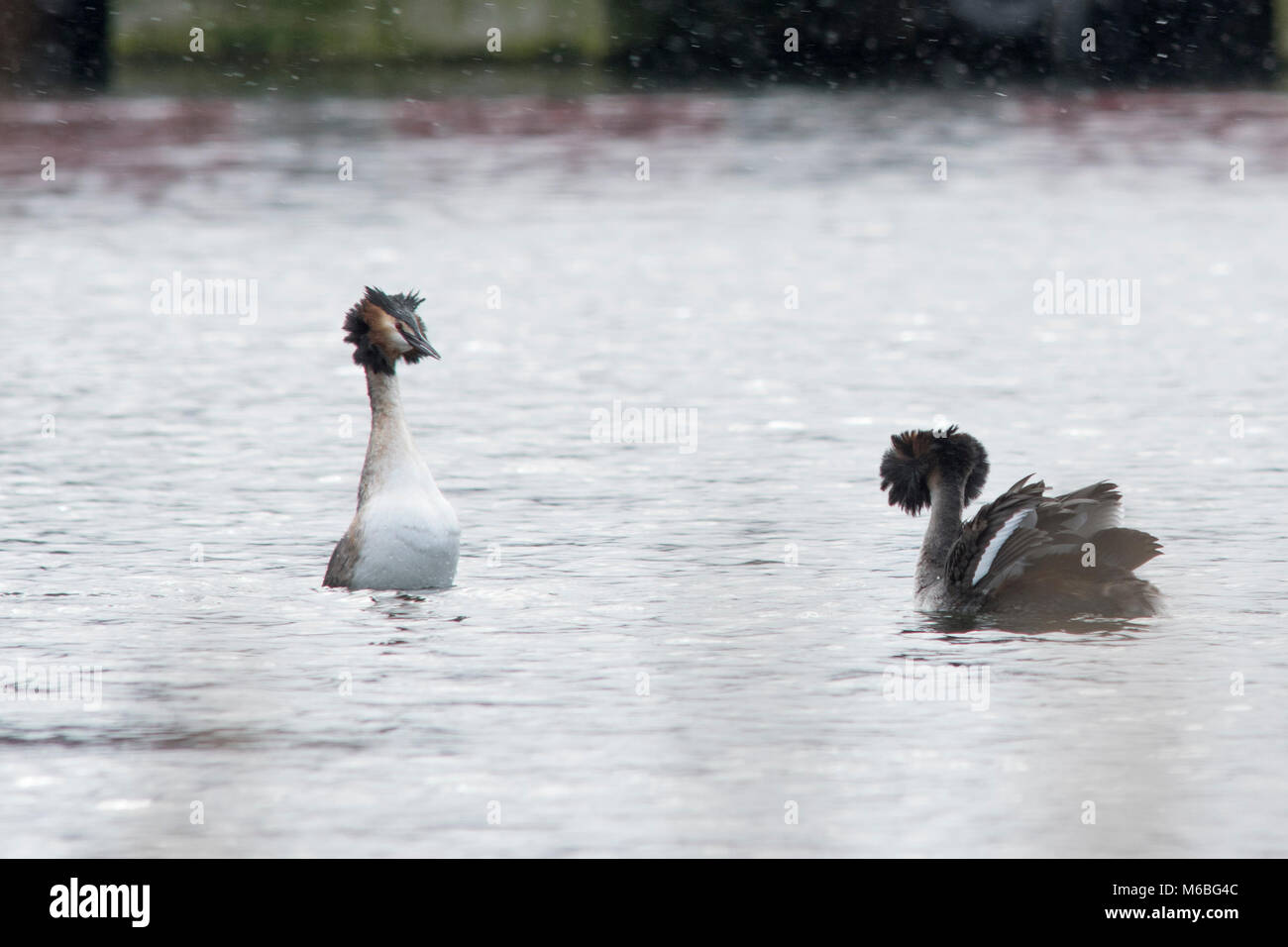 Great crested grebes displaying - Stock Image