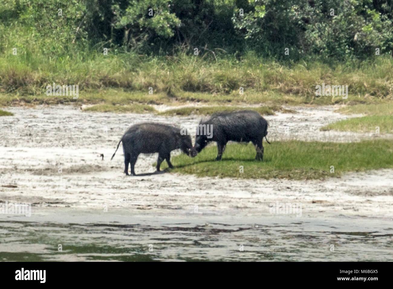 Giant Forest Hogs, Queen Elizabeth National Park, Uganda, Africa - Stock Image